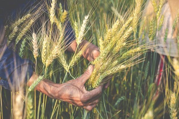 Farmers harvest barley happily.
