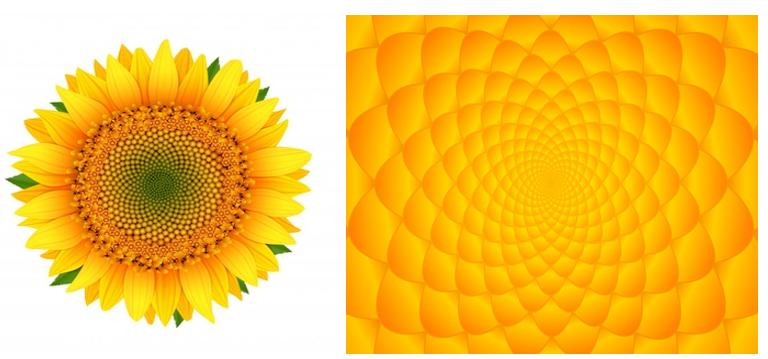 the sunflower, individual flowers are arranged along curved lines